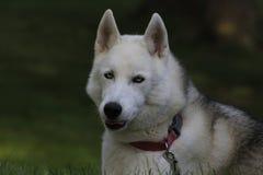 Feche acima do cão de puxar trenós bonito do cão, a raça ártica magestic fotografia de stock royalty free