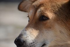 Feche acima do cão dourado fotos de stock royalty free