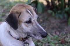 Feche acima do cão que encontra-se no assoalho Fotos de Stock Royalty Free