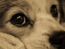 Feche acima do cão que olha Soulfully com amor imagem de stock