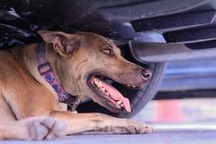 Feche acima do cão tailandês que encontra-se no assoalho Foto de Stock Royalty Free