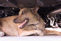 Feche acima do cão tailandês que encontra-se no assoalho Imagem de Stock Royalty Free