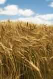 Feche acima do céu da grama do campo de trigo do conceito da paisagem Imagens de Stock Royalty Free