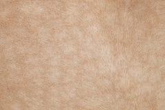 Feche acima do cabelo do cavalo, da pele, da pele, do uso do couro como animais e de nat Fotografia de Stock Royalty Free