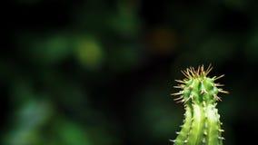 Feche acima do cacto verde no solo de potting com espinhos longos foto de stock