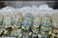Feche acima do camarão de louva-a-deus Foto de Stock