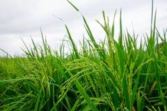 Feche acima do campo do arroz 'paddy' de arroz Fotografia de Stock
