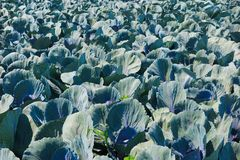 Feche acima do campo com as plantas da couve vermelha - Países Baixos, Venlo imagem de stock