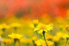 Feche acima do campo da margarida amarela no fundo alaranjado Imagens de Stock Royalty Free