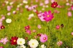Feche acima do campo de flor cor-de-rosa do cosmos Fotografia de Stock