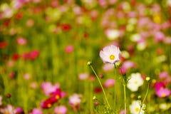 Feche acima do campo de flor cor-de-rosa do cosmos Imagens de Stock Royalty Free