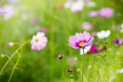 Feche acima do campo de flor cor-de-rosa do cosmos Imagens de Stock