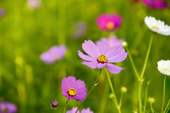 Feche acima do campo de flor cor-de-rosa do cosmos Foto de Stock Royalty Free