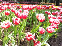 Feche acima do campo de flores colorido da tulipa Imagens de Stock Royalty Free