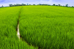 Feche acima do campo do arroz Imagem de Stock Royalty Free