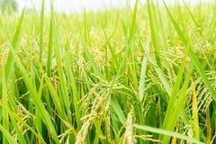Feche acima do campo do arroz na parte média de Tailândia Imagem de Stock