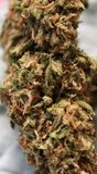 Feche acima do cannabis branco da viúva Foto de Stock