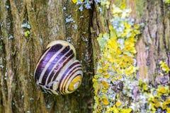 Feche acima do caracol na árvore velha com líquene Imagem de Stock Royalty Free
