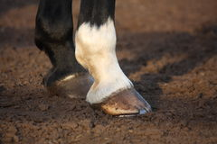 Feche acima do casco do cavalo Fotografia de Stock Royalty Free