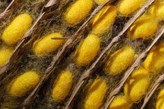 Feche acima do casulo amarelo do bicho-da-seda em um ninho do casulo Imagem de Stock Royalty Free