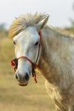 Feche acima do cavalo branco masculino no campo rural que olha à câmera imagens de stock royalty free