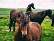 Feche acima do cavalo de Islândia com cabelo bonito que olha na câmera imagens de stock royalty free