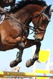 Feche acima do cavalo de salto da mostra Fotografia de Stock Royalty Free