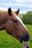 Feche acima do cavalo/pônei de /detail que mastiga um cargo de madeira da cerca Imagem de Stock