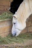 Feche acima do cavalo que come o feno Fotos de Stock Royalty Free