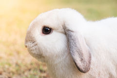 Feche acima do coelho branco na grama Imagens de Stock Royalty Free