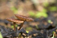Feche acima do cogumelo pequeno Imagens de Stock Royalty Free