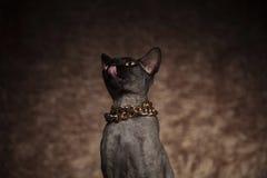 Feche acima do colar vestindo do gato com fome dos metis que olha acima fotos de stock