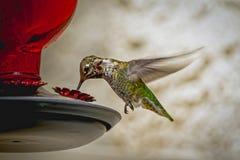 Feche acima do colibri do voo foto de stock royalty free