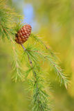 Feche acima do cone no pinho Foto de Stock Royalty Free