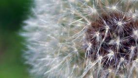 Feche acima do conjunto da semente pronto para ser fundido pelo vento imagens de stock royalty free
