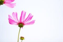 Feche acima do cosmos cor-de-rosa bonito da flor da vista que isola-se nos vagabundos brancos Imagens de Stock Royalty Free