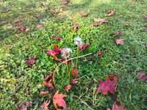 Feche acima do dente-de-leão do retrato e da grama com folha do outono Foto de Stock