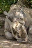 Feche acima do detalhe da cabeça branca do rinoceronte Imagens de Stock