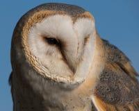 Feche acima do detalhe da exibição da coruja de celeiro nas penas, no bico e nos olhos imagem de stock royalty free