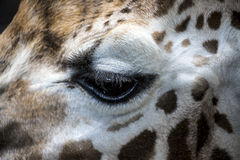 Feche acima do detalhe de olho do girafa Imagens de Stock Royalty Free