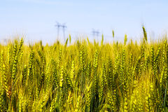 Feche acima do detalhe de orelhas do trigo de amadurecimento Imagem de Stock