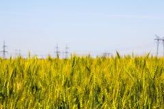 Feche acima do detalhe de orelhas do trigo de amadurecimento Fotos de Stock Royalty Free