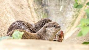 Feche acima do detalhe de uma lontra Fotografia de Stock
