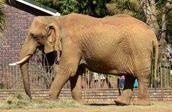 Feche acima do elefante de Bull que alimenta no feno Fotos de Stock