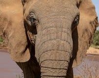 Feche acima do elefante em Kenya no safari imagem de stock royalty free