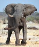 Feche acima do elefante pronto para carregar Fotografia de Stock Royalty Free