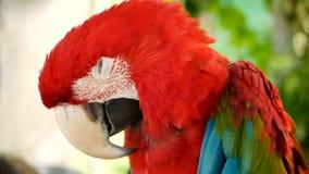 Feche acima do escarlate vermelho do papagaio da arara das Amazonas ou as aros macao, no retrato colorido dos animais selvagens t vídeos de arquivo