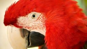 Feche acima do escarlate vermelho do papagaio da arara das Amazonas ou as aros macao, no retrato colorido dos animais selvagens t video estoque