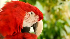 Feche acima do escarlate vermelho do papagaio da arara das Amazonas ou as aros macao, no retrato colorido dos animais selvagens t filme