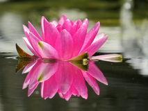 Feche acima do espelho cor-de-rosa do lírio de água em minha lagoa Foto de Stock Royalty Free